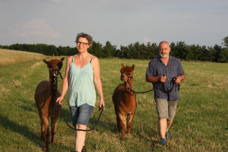 2 Personen gehen mit Alpakas spazieren